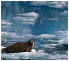 an image of a large seal on an ice floe