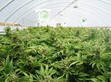 Large indoor marijuana legal recreational commercial growing operation