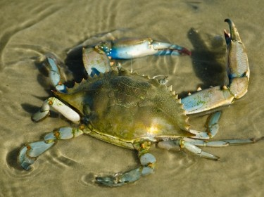 Blue crab in the Gulf of Mexico, photo by MeliaMuse/Getty Images